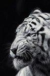 Наклейка на планшет Улыбка Тигра