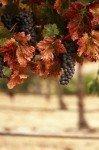 Наклейка на планшет Виноградная Лоза