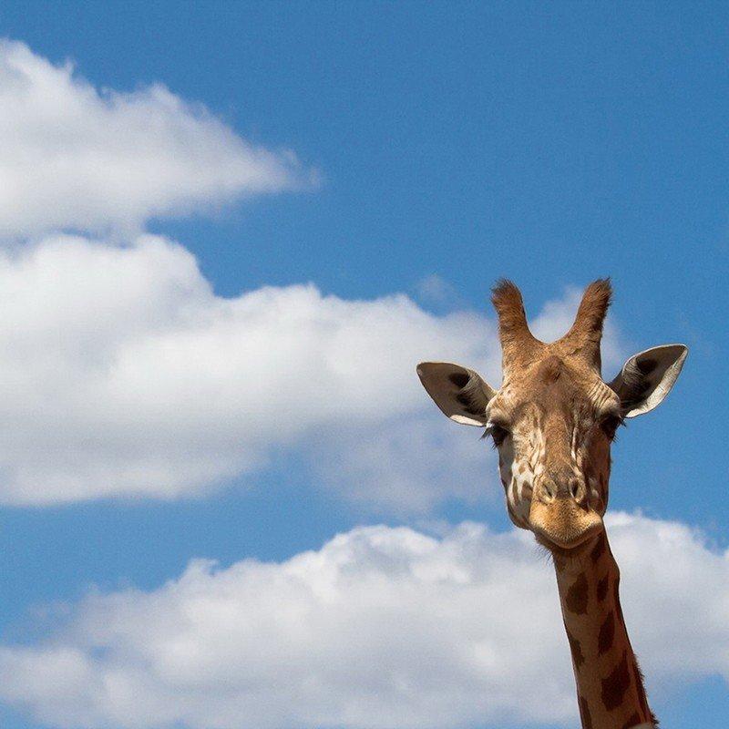 Чехол на телефон Жираф