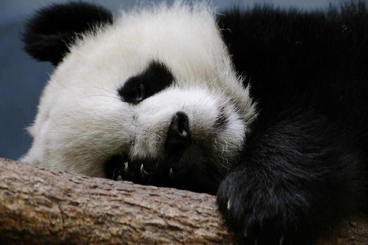 Наклейка на ноутбук Панда