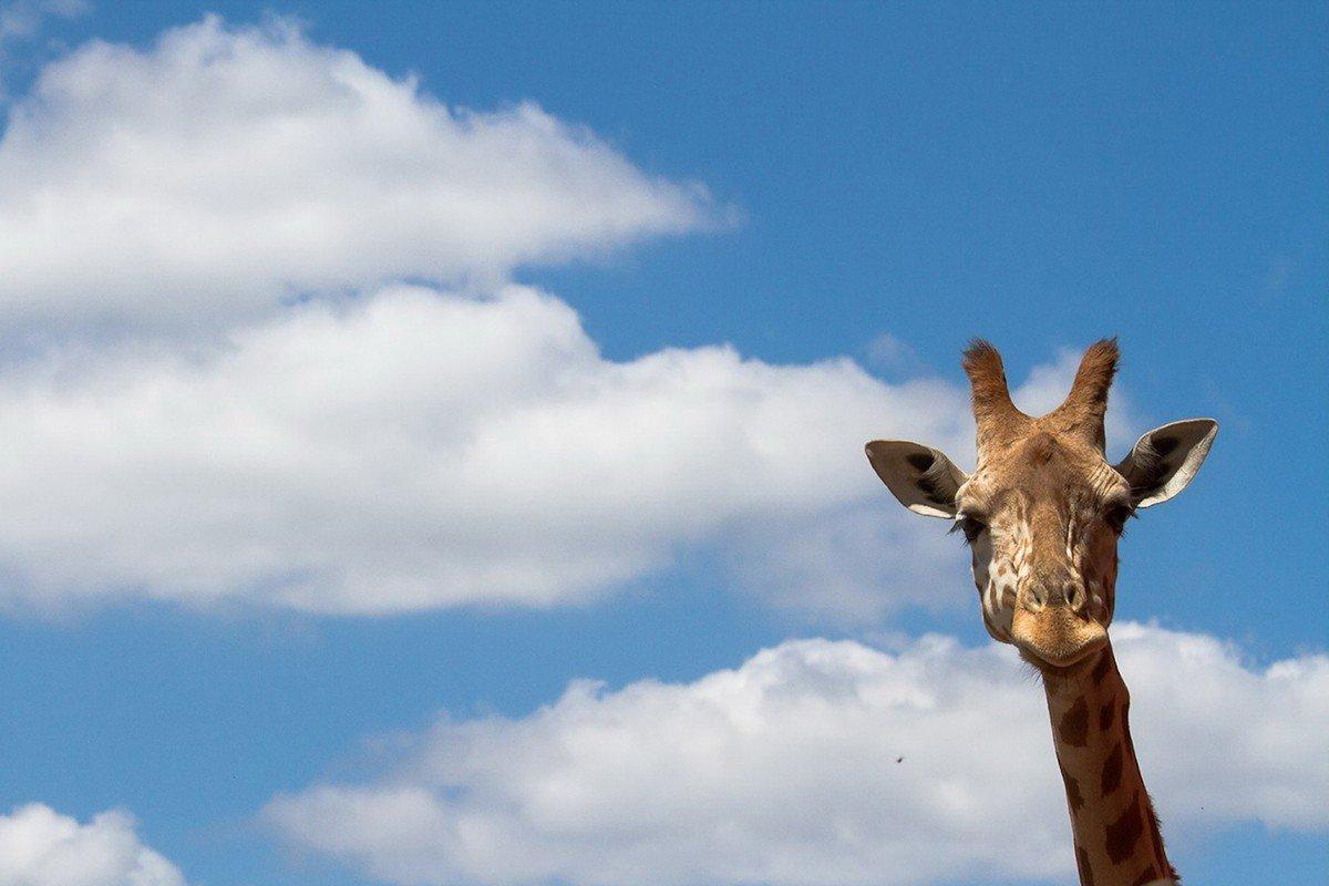 Наклейка на ноутбук Жираф