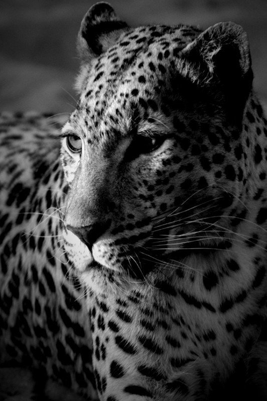 Наклейка на планшет Леопард
